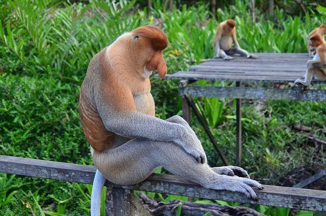 proboscis-monkey-212825_640