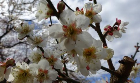 水戸市偕楽園の梅