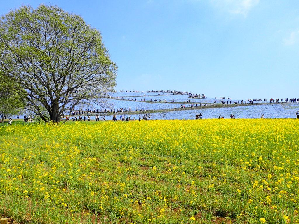 茨城 ネモフィラ 菜の花とのコントラスト