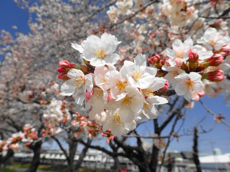 陸上自衛隊勝田駐屯地 桜 お花見