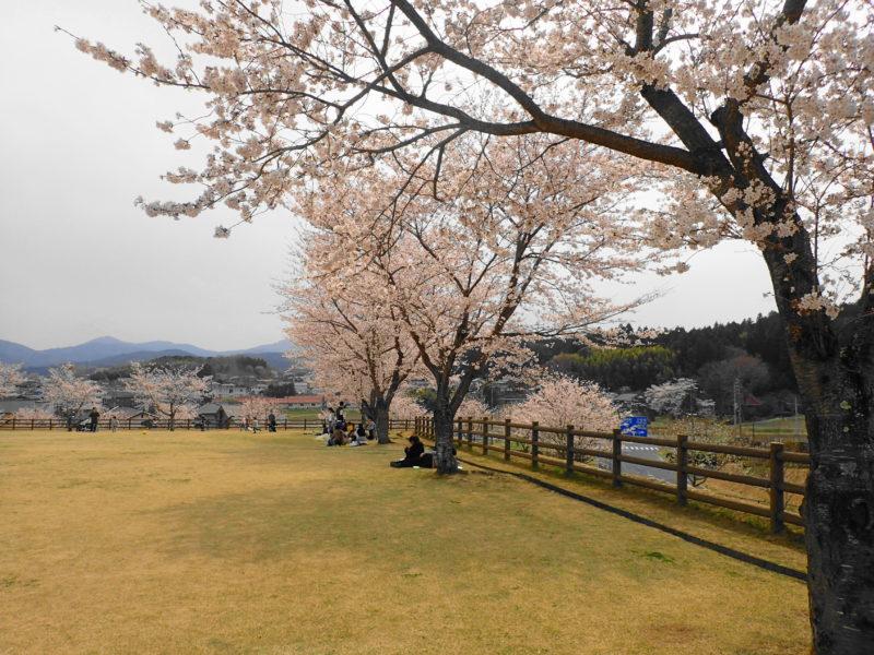笠間市総合公園 の桜